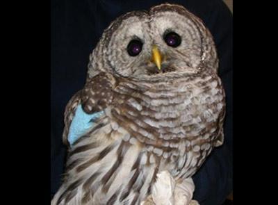 owl-rehabilitation