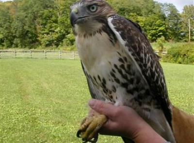 red_tail_hawk_release_sept_12th_001_small